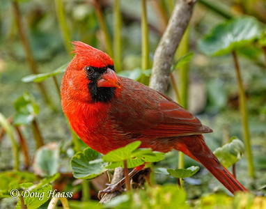 Northern Cardinal male in Pilant Slough