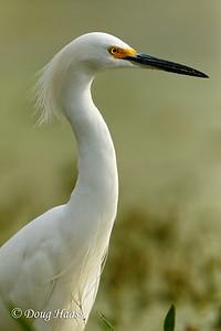 Snowy Egret on Elm Lake
