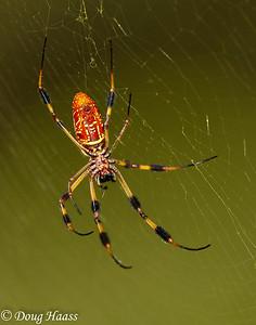 Golden Silk Orb-weaver Spider Nephila