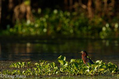 Green Heron Butorides virescens on Elm Lake