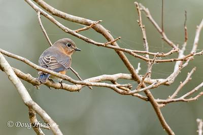 Eastern Bluebird female at Elm Lake picnic grounds