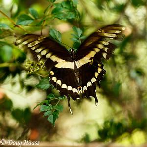 Eastern Black Swallowtail Butterfly on 40 Acre Lake Trail.