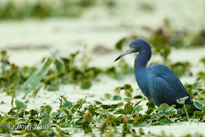 Little Blue Heron Egretta caerulea on Elm Lake