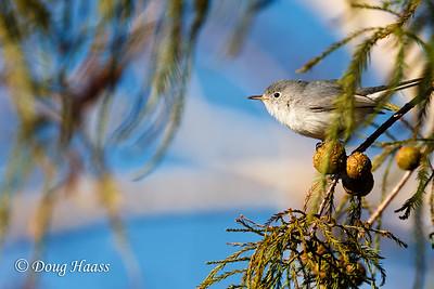 Blue-gray Gnatcatcher on Elm Lake