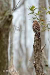 Red-shouldered Hawk on Pilant Slough
