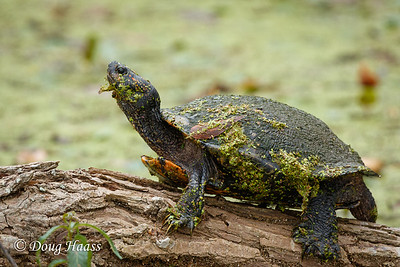 Unidentified turtle in Pilant Slough