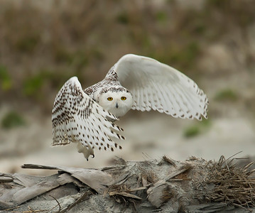 Brians Snowy Owls