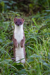 Stoat  on the Lookout
