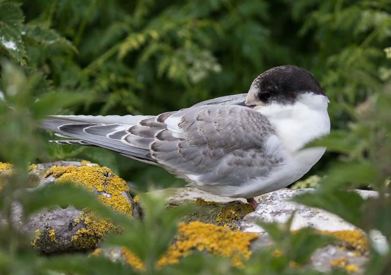 Arctic Tern - Farne Islands - Northumberland (July 2019)
