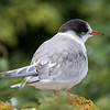 Arctic Tern - Farne Islands - Northumberland (July 2019)