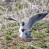 Black-headed Gull - Farne Islands - Northumberland (April 2018)