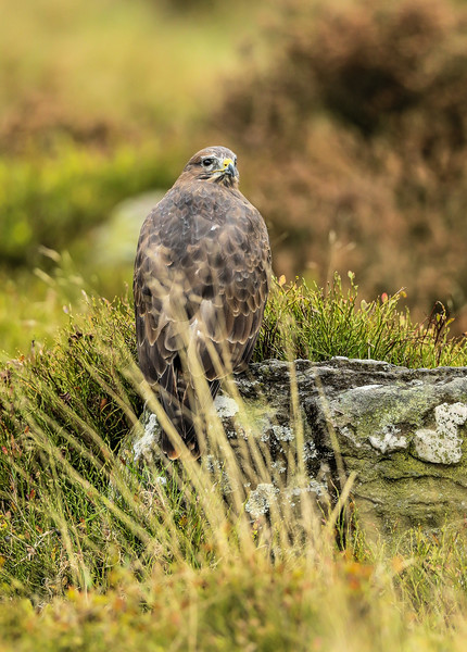 Buzzard  (Oct 2015)