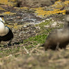 Common Eider - Farne Islands - Northumberland (May 2018)