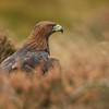 Golden Eagle (Oct 2015)