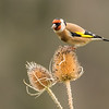 Goldfinch - Shropshire, England (November 2018)