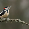 Greater Spotted Woodpecker - Shropshire, England (November 2018)