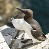 Guillemot - Farne Islands - Northumberland (May 2018)
