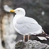 Herring Gull - Farne Islands - Northumberland (July 2019)