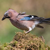 Jay - Dumfries & Galloway, Scotland (April 2018)