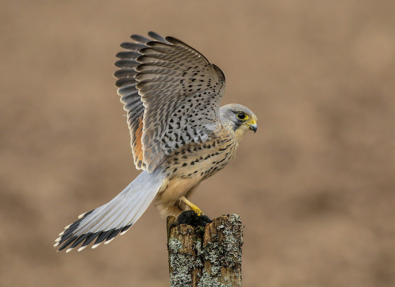 Kestrel (Jan 2014)