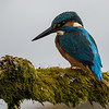 Kingfisher - Dumfries & Galloway, Scotland (April 2018)