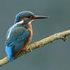 Kingfisher (Apr 2014)