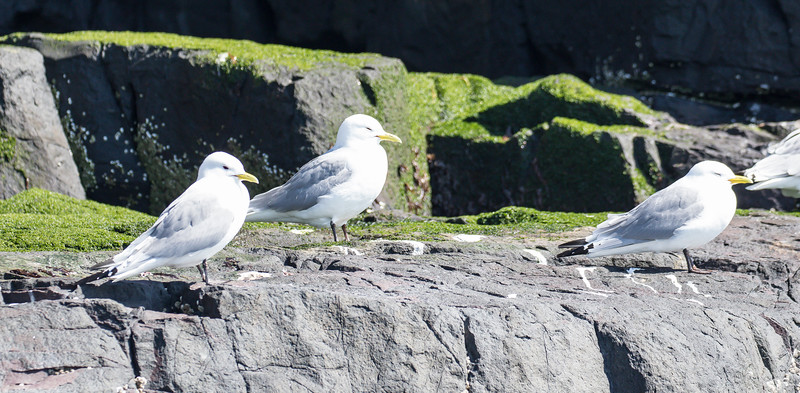 Kittiwake - Farne Islands - Northumberland (April 2018)