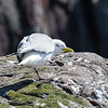 Kittiwake - Farne Islands - Northumberland (April 2018)