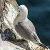 Kittiwake - Farne Islands - Northumberland (May 2018)