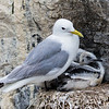 Kittiwake - Farne Islands - Northumberland (July 2019)