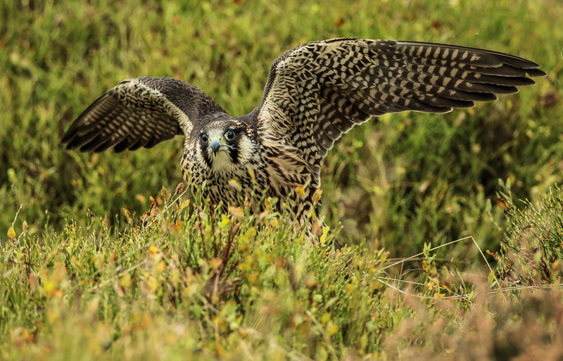Peregrine Falcon (Oct 2015)