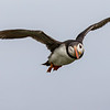 Puffin - Farne Islands - Northumberland (July 2019)