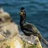 Shag - Farne Islands - Northumberland (May 2018)
