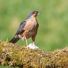 Sparrowhawk - Dumfries & Galloway, Scotland (April 2018)