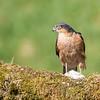 Sparrowhawk - Dumfries & Galloway, Scotland (April 2018)