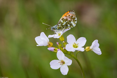 Orange Tip and Cuckoo Flower