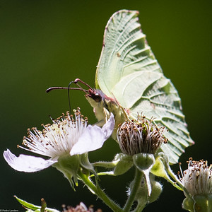 Brimstone and Bramble Flower