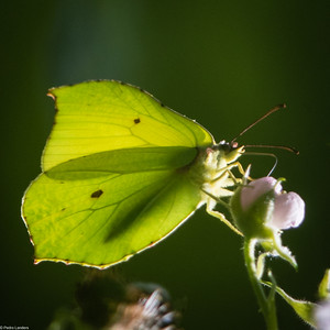 Backlit Brimstone