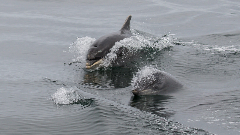 Bottlenose Dolphin - Farne Islands - Northumberland (July 2019)