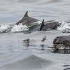 Bottlenose Dolphin - Farne Islands - Northumberland (July 2019)