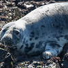 Grey Seal - Farne Islands - Northumberland (April 2018)