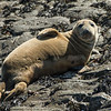 Grey Seal - Farne Islands - Northumberland (May 2018)