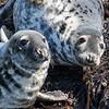 Grey Seal - Farne Islands - Northumberland (April 2018)