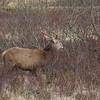 Red Deer - Glen Coe - Highlands - Scotland (April 2018)