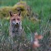 Red Fox - Dumfries & Galloway, Scotland (April 2018)