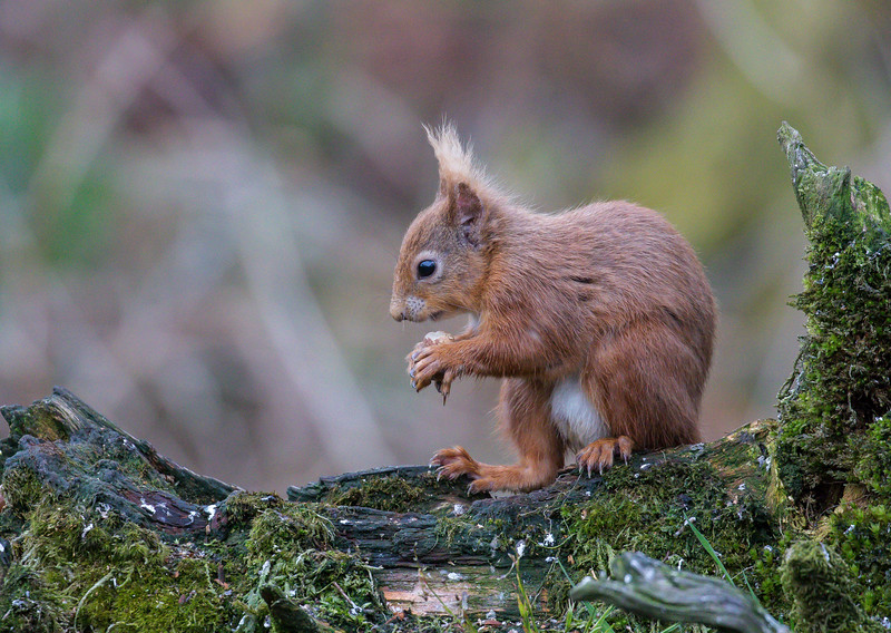 Red Squirrel - Dumfries & Galloway, Scotland (April 2018)