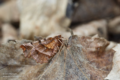 Early Thorn moth, Selenia dentaria, Catbrook, Monmouthshire, March