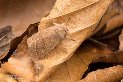 Common Quaker moth, Orthosia cerasi, family Noctuidae.  Catbrook, Monmouthshire, March. Focus stacked image,