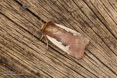 Flame Shoulder moth, Ocropleura plecta, Catbrook, Monmouthshire. Family Noctuidae.