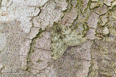 Pale Brindled Beauty, Phigalia pilosaria, family Geometridae. Catbrook Monmouthshire, March. Focus stacked image